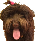 Lucy the Labradoodle.